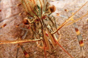 Rock pool shrimp.  105mm with +3 diopter by Paul Colley 
